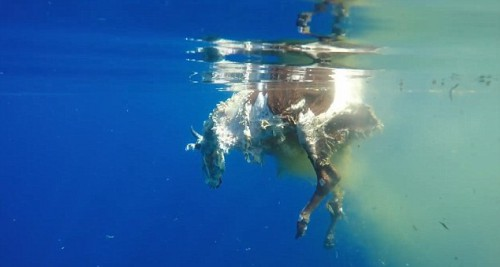 1083653 shark03 - IT'S VIRAL | Η μακάβρια στιγμή που ένας καρχαρίας κατασπαράζει μια αγελάδα στη μέση του Ινδικού Ωκεανού