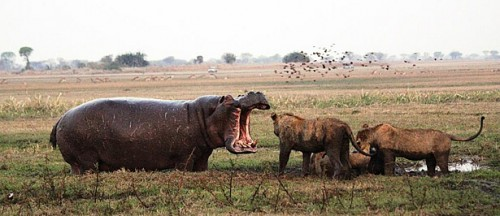 1232846 shumba camp hippo vs lion - Viral | Γιατί και το λιοντάρι μπορεί να χάσει από έναν.. ιπποπόταμο!