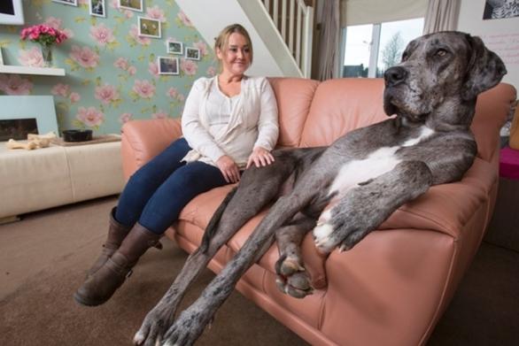 2243923 - Ο μεγαλύτερος σκύλος στον κόσμο έχει ύψος 2,13 μέτρα! (video)