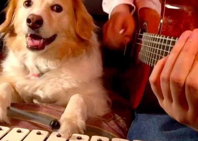 maple H 645 450 - Αυτός ο σκύλος παίζει μουσικά όργανα και το κάνει καλά! Video